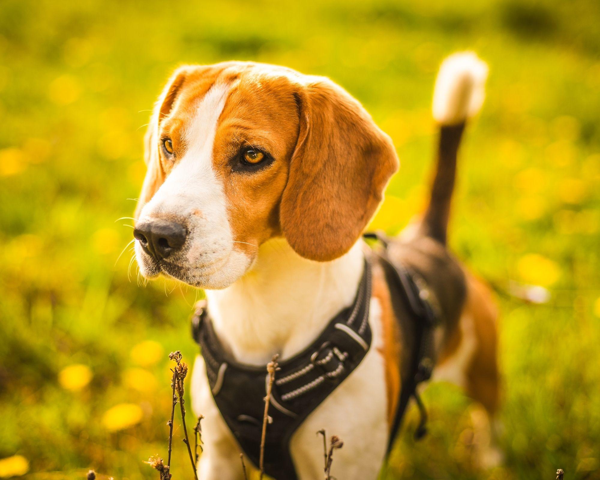 dog wearing best dog harness uk